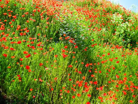 Red poppy flowers in Segovia, Spain. Bright sunny day.