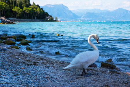 Lake Garda and beautiful white swan, Sirmione, Italy. 版權商用圖片