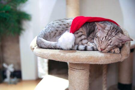 Cat wearing santa hat adorable sleeping. Christmas background. Cozy winter holidays.  写真素材