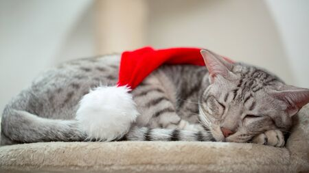 Cat wearing red Christmas hat and sleeping. Cozy winter background. Close-up.