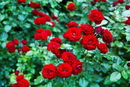 Beautiful velvet red roses bush in the garden, close up.  写真素材