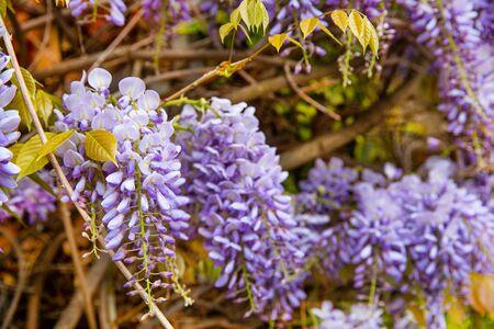 Wisteria flowers blossom, close up.