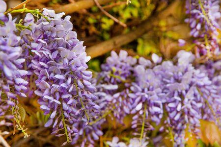 Purple wisteria flowers tree , close up.  写真素材