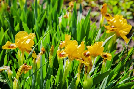 Beautiful yellow iris flowers in the garden. Bright spring colors.