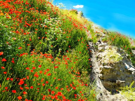 Red poppy flowers meadow and green grass. Spring in Spain.                                   写真素材