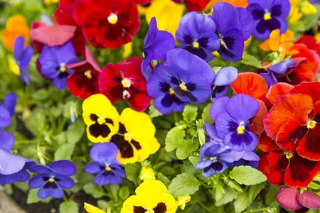 Pansy flowers, yellow, violet and red, close up.  写真素材