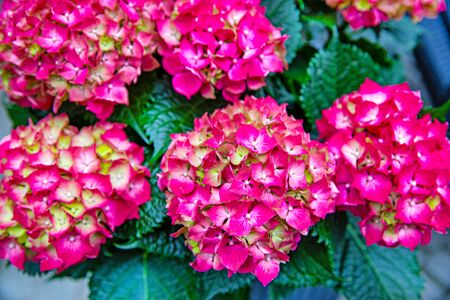 Pink hortensia flower blooming in spring and summer in a garden. Bright vivid color.