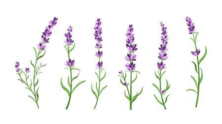 Vector illustration set of lavender flowers elements. Botanical illustrations of lavender branches in design element for decorating, greeting cards, postcards. Flat cartoon design