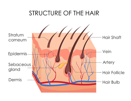 Vector illustration of human hair diagram. Piece of human skin and all structure of hair on the white background. Medical Treatment of baldness, epilation concept Stock Illustratie
