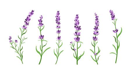 Vector illustration set of lavender flowers elements. Botanical illustrations of lavender branches in design element for decorating, greeting cards, postcards. Flat cartoon design. Stock Photo