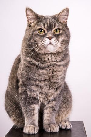 gray cat: Gray cat on white background