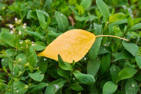 Yellow leaf on green grass. Autumn leaf birch. Raindrops on green grass 免版税图像