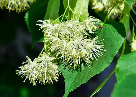 Linden tree in bloom. Flowers of the linden tree known as Lime Blossom. And used dried for a herbal tea or tincture with medicinal properties