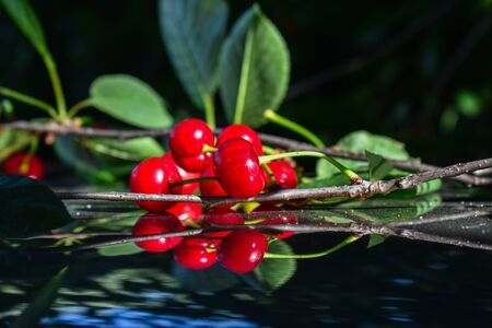 Red cherries on a black background. Closeup. Ripe red cherries on the tree branch close-up. Cherry tree. 스톡 콘텐츠