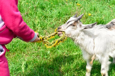 Little girl feeds a white goat with yellow dandelions on the lawn in sunny summer.