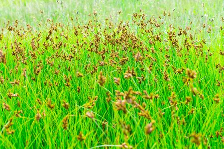 Lush green grass in the meadow with brown spikelets and seeds. Green grass background.