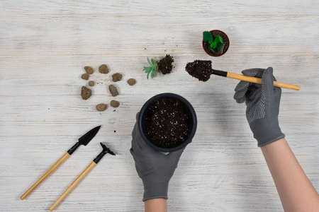 Female hands in gray gardening gloves pour the earth into a pot for planting a cactus. Transplanting cacti. Gardening tools shovel, rake, pot, cacti, cacti on a white wooden background. Suculents.