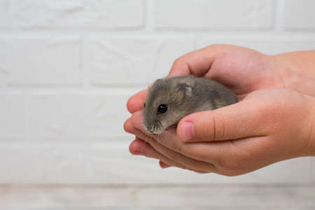 Small Dzungarian hamster in the arms of children. Place for an inscription.