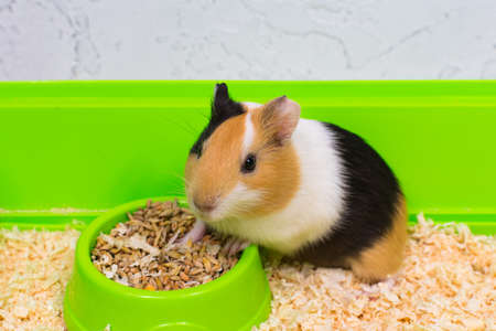 Close-up of a guinea pig eating food in a green box.