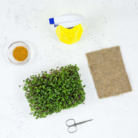 Mustard microgreens grow in a tray and cut in a glass bowl by scissors. The concept of proper vegan food.