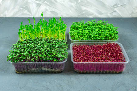 Sprouted microgreens of amaranth, red cabbage, radishes. Germinating microgreen seeds at home. Vegan and healthy food concept.