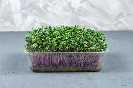 Fresh organic microgreens in a plastic container on a gray background. Micro greens. Vegan and healthy food concept.