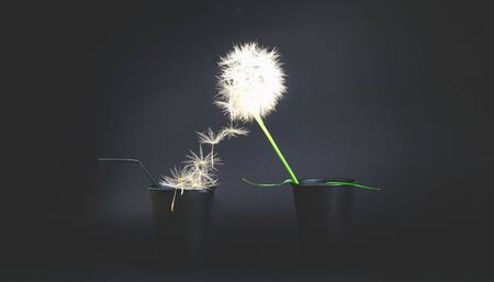 Creative black background with paper disposable cups and dandelion inflorescence.Close-up,copy space