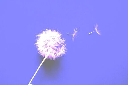 Creative colorful background with white dandelions inflorescence. Trendy colors in 2019. Concept for festive background or for project.Close-up,copy space