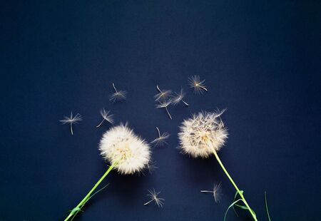 Creative background with white dandelions inflorescence.  Concept for festive background or for project.Close-up,copy space