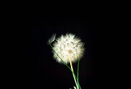 Black background with white dandelions inflorescence. Concept for festive background or for project.