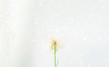 White inflorescences Dandelion on  background with golden sparkles. Blurred  effect. Concept for festive background or for project.Close-up