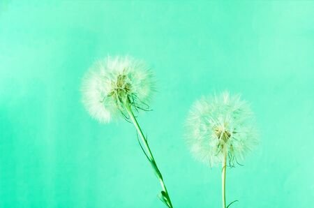Creative mint background with white dandelions inflorescence. Trendy colour of the year 2020. Concept for festive background.Close-up,copy space