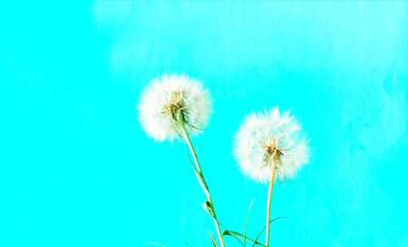 Creative colorful background with white dandelions. Trendy colors in 2020. Concept for festive background or for project.Close-up,copy space