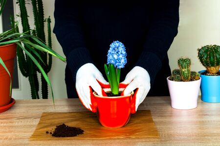 Home gardening. Womens hands in white gloves planting hyacinth flower in colorful flowerpot. Close-up, copy space Stock Photo