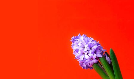Festive concept from hyacinth flower in full bloom. Valentines Day. Template mock up of greeting card or text design. Close-up, copy space