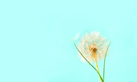 Blue background with white dandelions inflorescence. Concept for festive background or for project. Hello Summer. Creative copy space