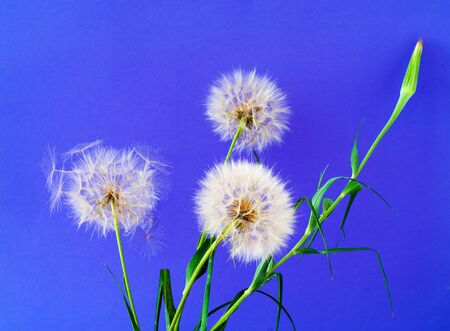 White dandelions inflorescence on blue background. Concept for festive background or for project. Hello Summer. Creative copy space Foto de archivo - 150562872