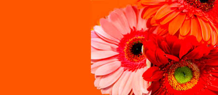 Abstract background with multi colored gerbera flowers. Festive concept or Hello summer. Minimalist style. Creative copy space Фото со стока