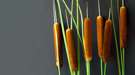 Reed stalks on dark background. Autumn natural palette or Autumn home decor. Creative copy space
