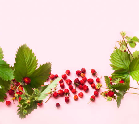 Wild strawberry on a pink background. Wildlife concept. Creative copy space. Close-up, blurred effect Фото со стока