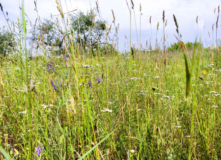Meadow with wildflowers and herbs. Wildlife concept or hello summer. Close-up