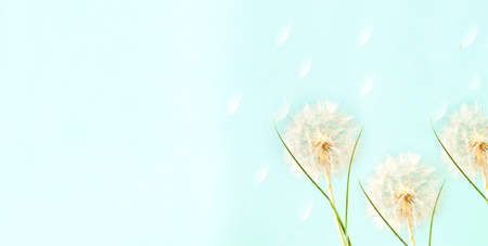 Creative background with white dandelions inflorescence. Concept for festive background.Close-up, copy space
