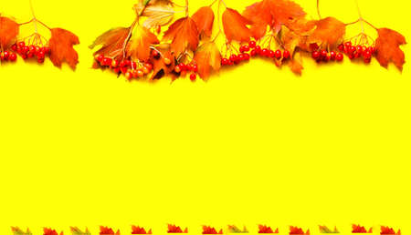 Bright yellow background with autumn berries. The concept of Teachers day. Trending color of 2021. Copy space