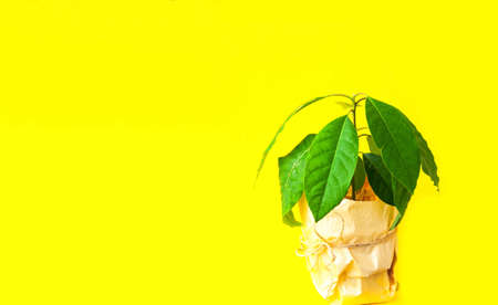 Avocado plant in a pot on yellow background. Growing a home in quarantine or office landscaping concept. Creative copy space