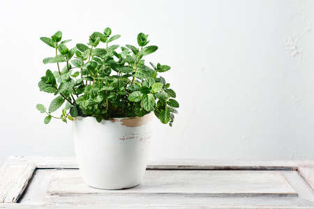 Fresh mint leaves on a white wooden background. Stock Photo