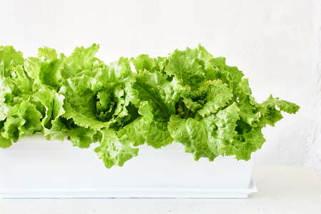Fresh green lettuce leaves growing in a plant box.