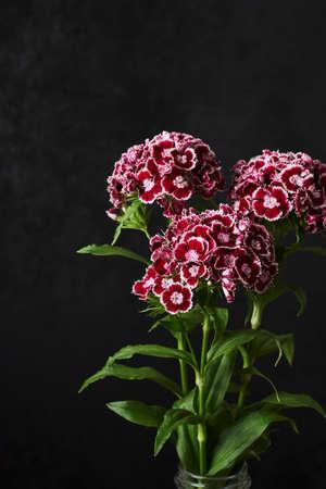 Carnation flowers bouquet on a dark background. Dianthus barbatus (Sweet William).