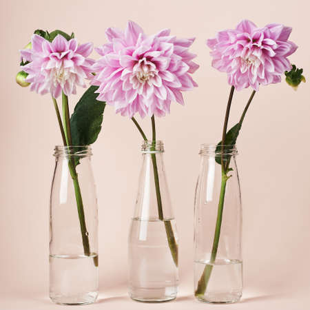 Pink dahlia flowers in glass bottles on a peach colored background. Фото со стока