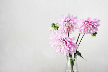Pink dahlia flowers on a white background.