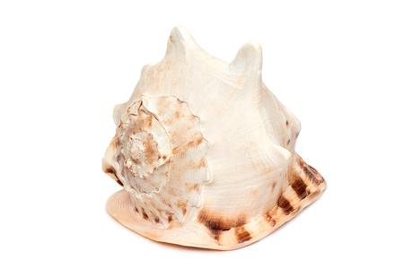 Sea shell horned helmet Cassis cornuta isolated on white background